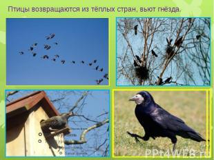 Птицы возвращаются из тёплых стран, вьют гнёзда.