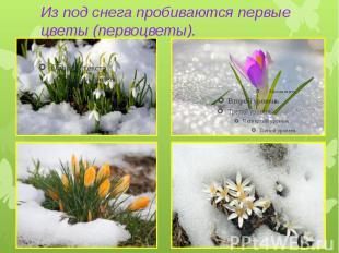 Из под снега пробиваются первые цветы (первоцветы).