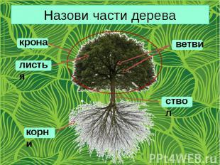 Назови части дерева