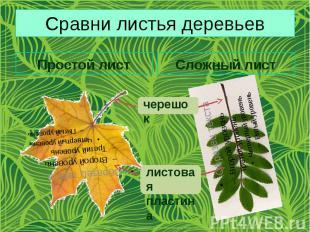 Сравни листья деревьев Простой лист