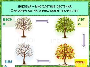 Деревья – многолетние растения. Они живут сотни, а некоторые тысячи лет.