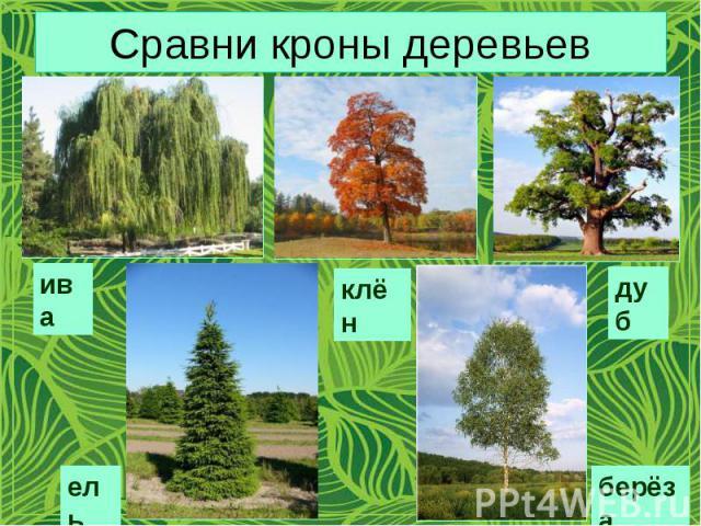 Сравни кроны деревьев