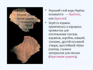 Верхний слой коры берёзы называется — берёста, или береста Берёста издавна