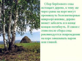 Сбор берёзового сока истощает дерево, к тому же через раны на коре могут проникн