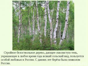 Стройное белоствольное дерево, дающее сквозистую тень, украшающее в любое время