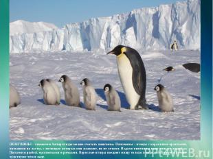 ПИНГВИНЫ – символом Антарктиды можно считать пингвина. Пингвины – птицы с коротк