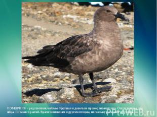 ПОМОРНИК – родственник чайкам. Крупная и довольно прожорливая птица. Откладывают