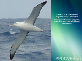 АЛЬБАТРОС – семейство морских птиц. Считаются одними из крупных летающих птиц. П