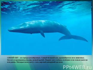 СИНИЙ КИТ – из отряда китообразных. Самый большой кит, крупнейшее из всех животн