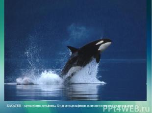 КАСАТКИ – крупнейшие дельфины. От других дельфинов отличаются черно-белым окрасо