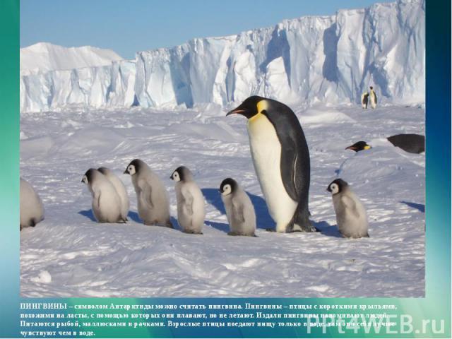 ПИНГВИНЫ – символом Антарктиды можно считать пингвина. Пингвины – птицы с короткими крыльями, похожими на ласты, с помощью которых они плавают, но не летают. Издали пингвины напоминают людей. Питаются рыбой, маллюсками и рачками. Взрослые птицы поед…