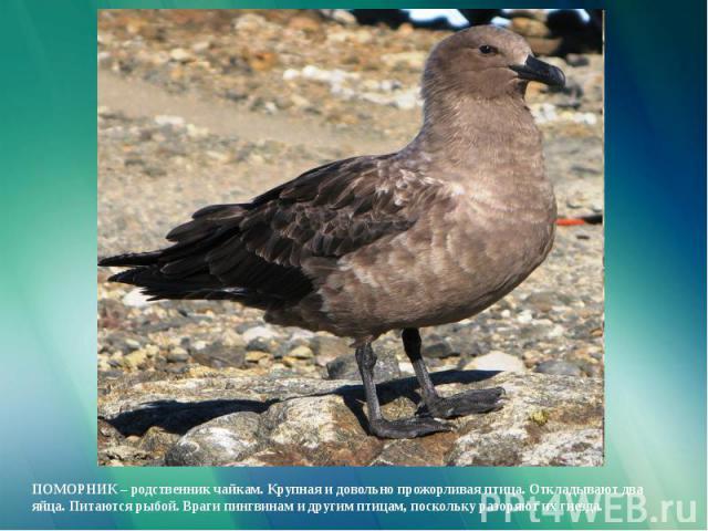 ПОМОРНИК – родственник чайкам. Крупная и довольно прожорливая птица. Откладывают два яйца. Питаются рыбой. Враги пингвинам и другим птицам, поскольку разоряют их гнезда.