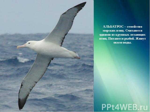 АЛЬБАТРОС – семейство морских птиц. Считаются одними из крупных летающих птиц. Питаются рыбой. Живут около воды.