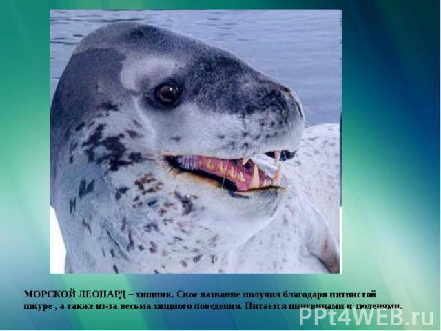 МОРСКОЙ ЛЕОПАРД – хищник. Свое название получил благодаря пятнистой шкуре , а также из-за весьма хищного поведения. Питается пингвинами и тюленями.