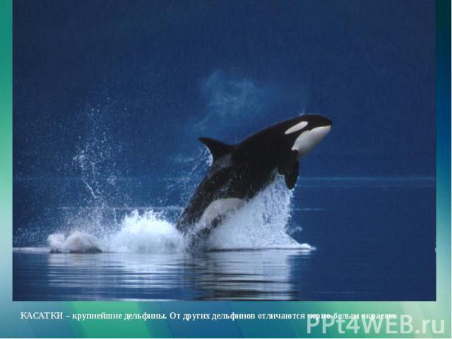 КАСАТКИ – крупнейшие дельфины. От других дельфинов отличаются черно-белым окрасом.