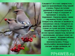 Слышите? Это поет свиристель – одна из красивейших птиц нашей страны. Перья на г