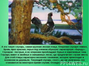 А это токует глухарь, самая крупная лесная птица. Оперение глухаря темное, бровь