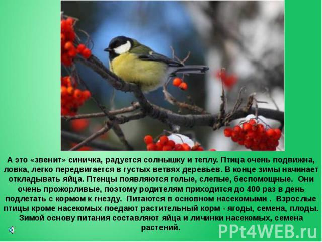 А это «звенит» синичка, радуется солнышку и теплу. Птица очень подвижна, ловка, легко передвигается в густых ветвях деревьев. В конце зимы начинает откладывать яйца. Птенцы появляются голые, слепые, беспомощные. Они очень прожорливые, поэтому родите…