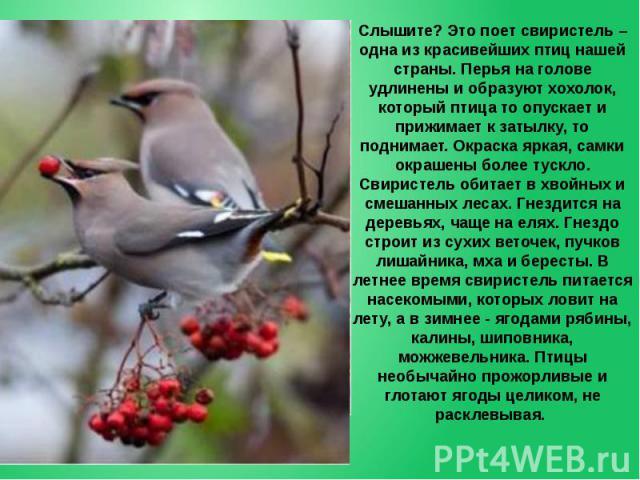 Слышите? Это поет свиристель – одна из красивейших птиц нашей страны. Перья на голове удлинены и образуют хохолок, который птица то опускает и прижимает к затылку, то поднимает. Окраска яркая, самки окрашены более тускло. Свиристель обитает в хвойны…