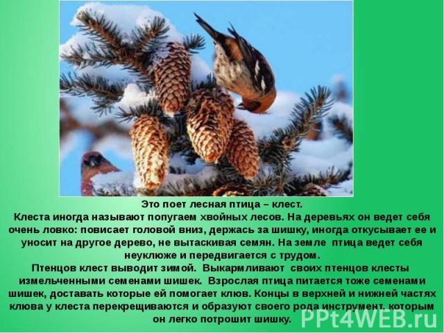 Это поет лесная птица – клест. Клеста иногда называют попугаем хвойных лесов. На деревьях он ведет себя очень ловко: повисает головой вниз, держась за шишку, иногда откусывает ее и уносит на другое дерево, не вытаскивая семян. На земле птица ведет с…