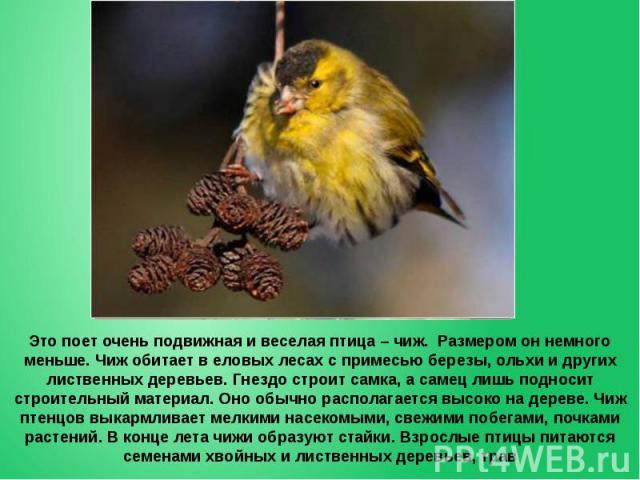 Это поет очень подвижная и веселая птица – чиж. Размером он немного меньше. Чиж обитает в еловых лесах с примесью березы, ольхи и других лиственных деревьев. Гнездо строит самка, а самец лишь подносит строительный материал. Оно обычно располагается …