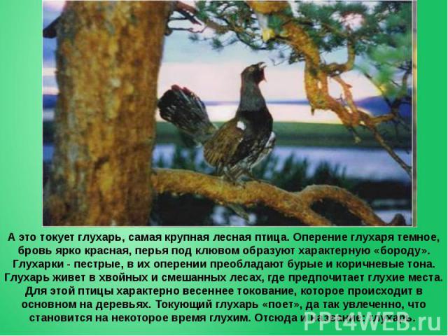 А это токует глухарь, самая крупная лесная птица. Оперение глухаря темное, бровь ярко красная, перья под клювом образуют характерную «бороду». Глухарки - пестрые, в их оперении преобладают бурые и коричневые тона. Глухарь живет в хвойных и смешанных…