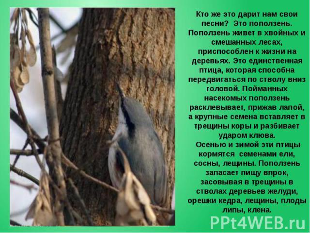 Кто же это дарит нам свои песни? Это поползень. Поползень живет в хвойных и смешанных лесах, приспособлен к жизни на деревьях. Это единственная птица, которая способна передвигаться по стволу вниз головой. Пойманных насекомых поползень расклевывает,…
