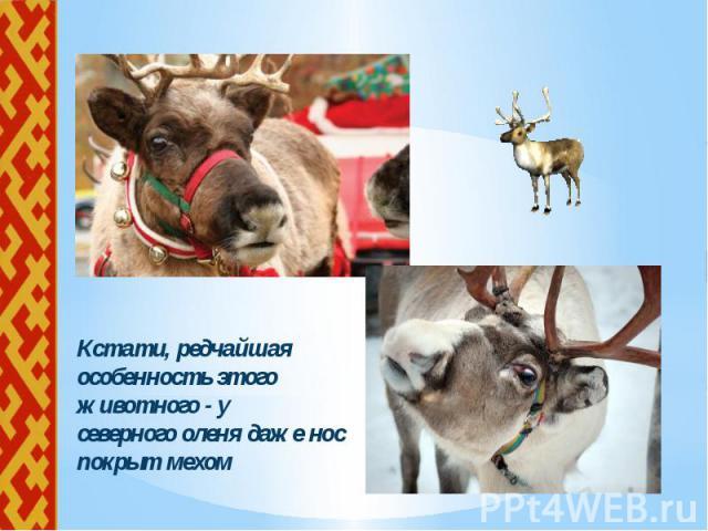 Кстати, редчайшая особенность этого животного - у Кстати, редчайшая особенность этого животного - у северного оленя даже нос покрыт мехом
