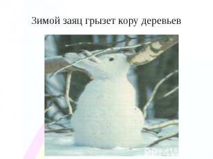 Зимой заяц грызет кору деревьев