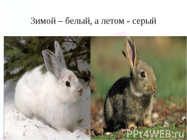 Зимой – белый, а летом - серый