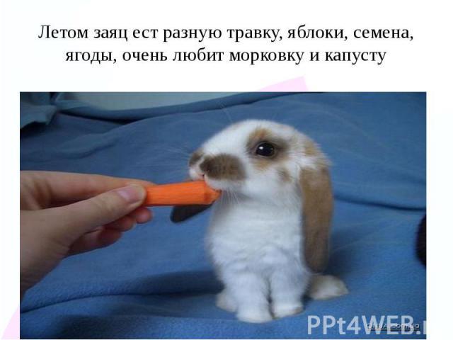 Летом заяц ест разную травку, яблоки, семена, ягоды, очень любит морковку и капусту