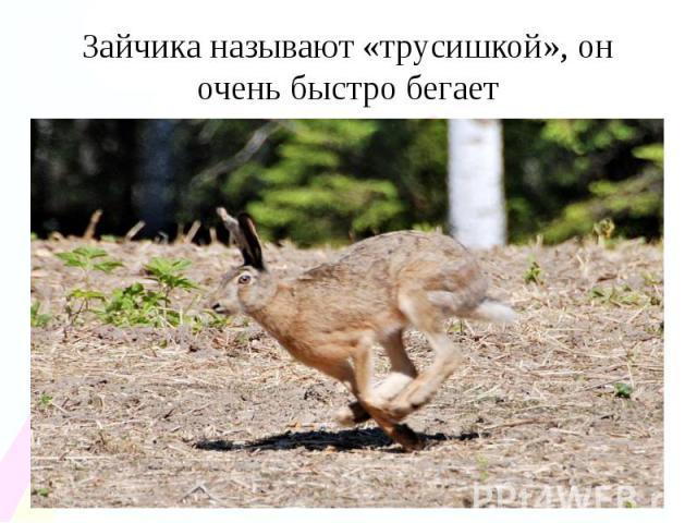 Зайчика называют «трусишкой», он очень быстро бегает