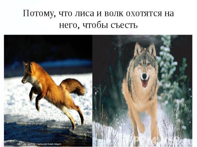 Потому, что лиса и волк охотятся на него, чтобы съесть