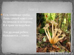 опята Есть семейные грибы, Лишь семьей живут они На пеньках и на корнях, И в тра