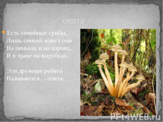 опята Есть семейные грибы, Лишь семьей живут они На пеньках и на корнях, И в траве на вырубках. Эти дружные ребята Называются… опята.