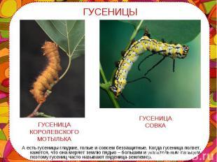 А есть гусеницы гладкие, голые и совсем беззащитные. Когда гусеница ползет, каже