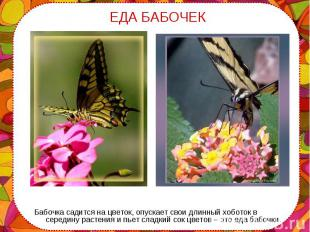 Бабочка садится на цветок, опускает свои длинный хоботок в середину растения и п