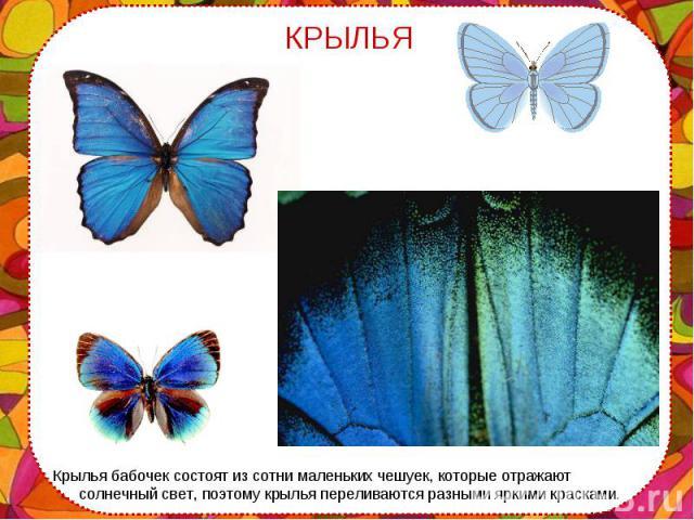 Крылья бабочек состоят из сотни маленьких чешуек, которые отражают солнечный свет, поэтому крылья переливаются разными яркими красками. Крылья бабочек состоят из сотни маленьких чешуек, которые отражают солнечный свет, поэтому крылья переливаются ра…