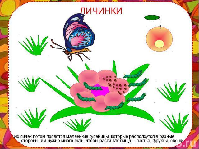 Из яичек потом появятся маленькие гусеницы, которые расползутся в разные стороны, им нужно много есть, чтобы расти. Их пища – листья, фрукты, овощи Из яичек потом появятся маленькие гусеницы, которые расползутся в разные стороны, им нужно много есть…