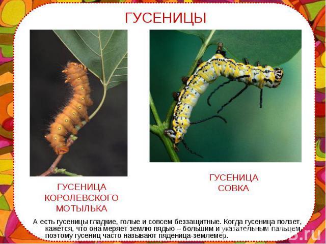 А есть гусеницы гладкие, голые и совсем беззащитные. Когда гусеница ползет, кажется, что она меряет землю пядью – большим и указательным пальцем, поэтому гусениц часто называют пяденица-землемер. А есть гусеницы гладкие, голые и совсем беззащитные. …