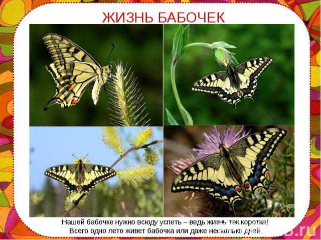 Нашей бабочке нужно всюду успеть – ведь жизнь так коротка! Нашей бабочке нужно всюду успеть – ведь жизнь так коротка! Всего одно лето живет бабочка или даже несколько дней.