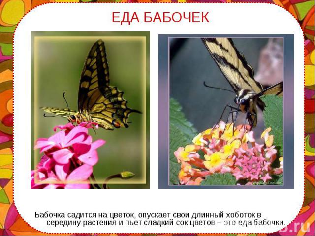 Бабочка садится на цветок, опускает свои длинный хоботок в середину растения и пьет сладкий сок цветов – это еда бабочки. Бабочка садится на цветок, опускает свои длинный хоботок в середину растения и пьет сладкий сок цветов – это еда бабочки.