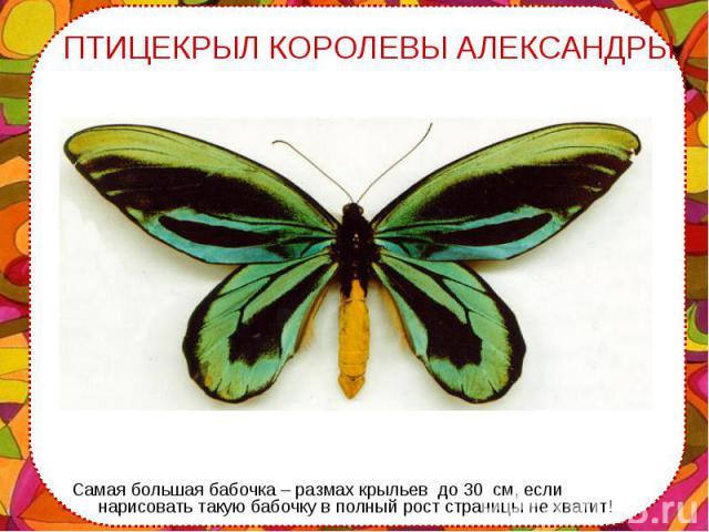 Самая большая бабочка – размах крыльев до 30 см, если нарисовать такую бабочку в полный рост страницы не хватит! Самая большая бабочка – размах крыльев до 30 см, если нарисовать такую бабочку в полный рост страницы не хватит!