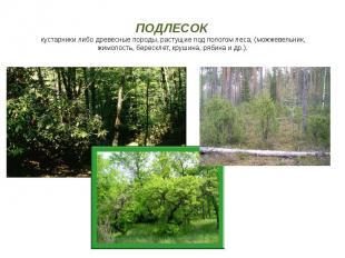 ПОДЛЕСОК кустарники либо древесные породы, растущие под пологом леса, (можжевель