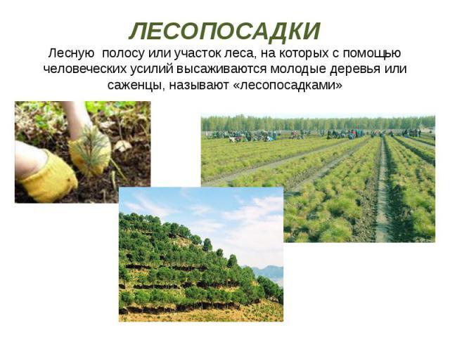 ЛЕСОПОСАДКИ Лесную полосу или участок леса, на которых с помощью человеческих усилий высаживаются молодые деревья или саженцы, называют «лесопосадками»