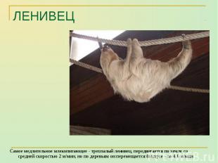 Самое медлительное млекопитающее - трехпалый ленивец, передвигается по земле со
