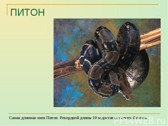 Самая длинная змея Питон. Рекордной длины 10 м достигал сетчатый питон. Самая длинная змея Питон. Рекордной длины 10 м достигал сетчатый питон.