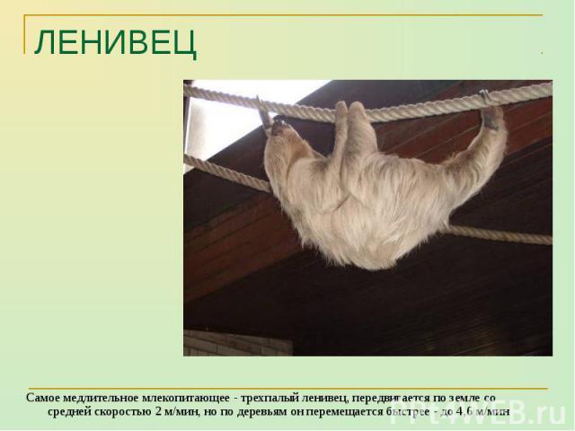 Самое медлительное млекопитающее - трехпалый ленивец, передвигается по земле со средней скоростью 2 м/мин, но по деревьям он перемещается быстрее - до 4,6 м/мин Самое медлительное млекопитающее - трехпалый ленивец, передвигается по земле со средней …