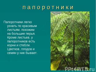 Папоротники легко узнать по красивым листьям, похожим на большие перья. Кроме ли