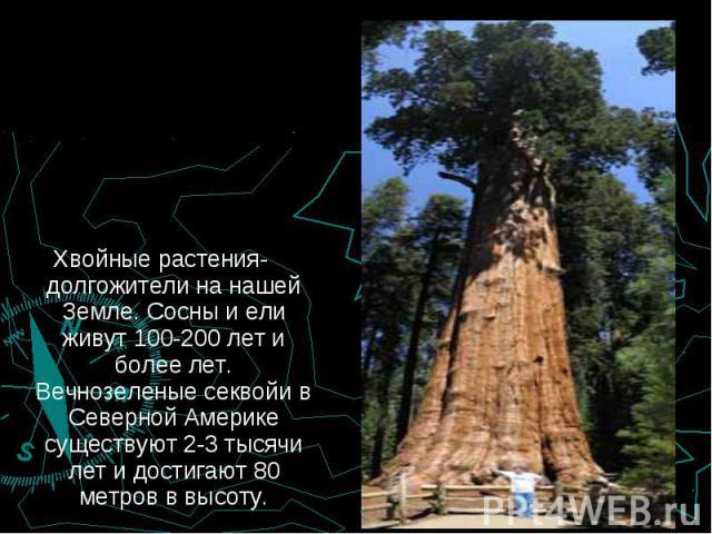 Хвойные растения-долгожители на нашей Земле. Сосны и ели живут 100-200 лет и более лет. Вечнозеленые секвойи в Северной Америке существуют 2-3 тысячи лет и достигают 80 метров в высоту. Хвойные растения-долгожители на нашей Земле. Сосны и ели живут …